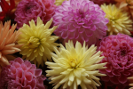 webpicLS-AS-2008-flowers-nn-web625w417h.png